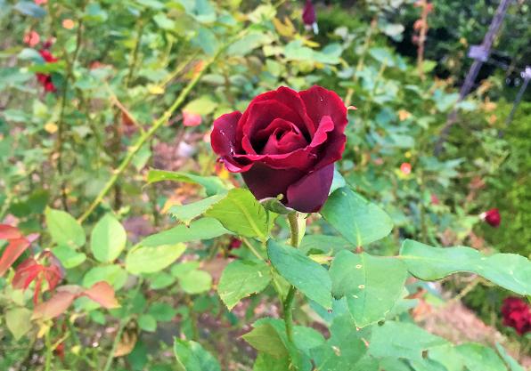 バラの種類は色々