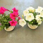 ベランダの花 ― 米のとぎ汁で植物を育てる