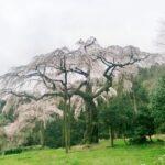小田原・長興山のしだれ桜はあと少しで満開