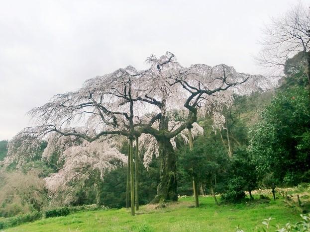 小田原・長興山のしだれ桜へのアクセス