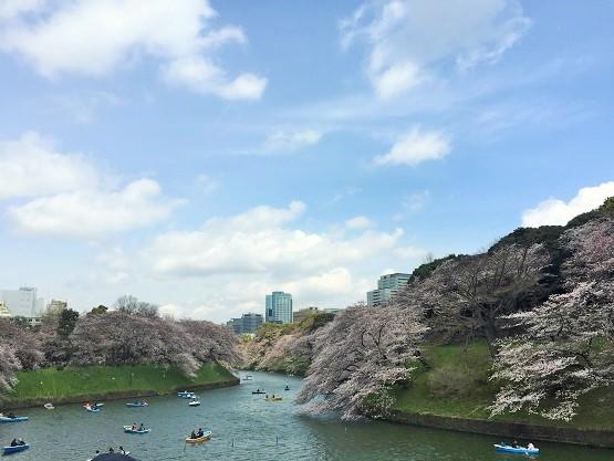 千鳥ヶ淵の桜の見頃は絶景