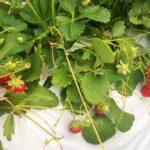 食物のタネ ―「固定種」「在来種」と「F1種」