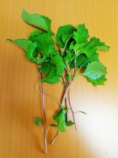 プランター大葉の苗を間引きしたら上手く育ってきました
