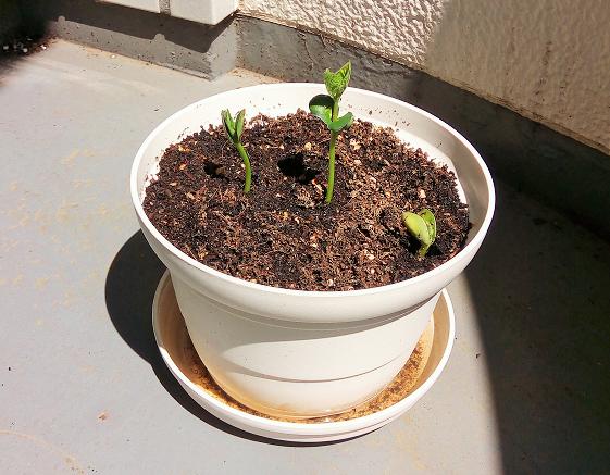 プランター栽培の枝豆は芽が出て徐々に成長中