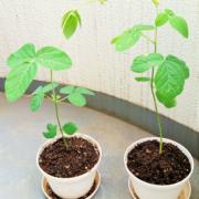 枝豆は茎が伸びすぎ、ナスは枯れて・・・日当たりが悪くても育つ野菜