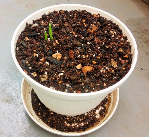 プランターにんにくの芽が出ました