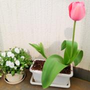 ついにプランターチューリップ開花