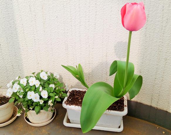 ついにチューリップ開花