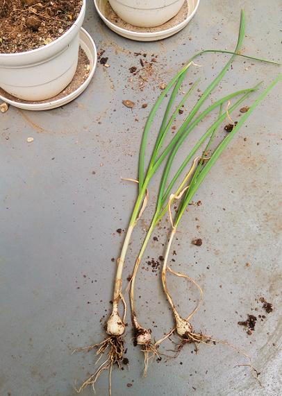 やっとプランターにんにくを収穫しました