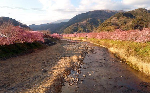 美しかった河津桜と熱海梅園
