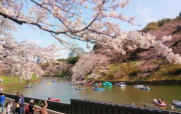 千鳥ヶ淵の桜は七分咲き、靖国通り沿いが綺麗でした