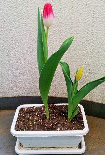 チューリップが咲き始めたので、アサガオの鉢を準備しました