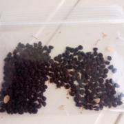 アサガオの種を採取して冷蔵保存