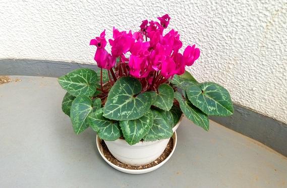 鉢を替えたらシクラメンが元気に開花